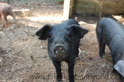 Black Pig