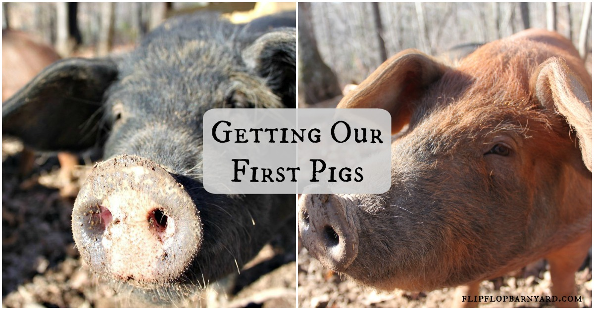 Getting pigs on the homestead