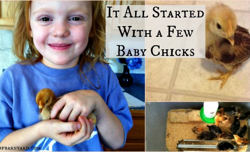 Our homesteading all started with a few baby chicks.