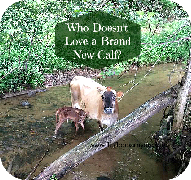 Who doesn't love a brand new calf