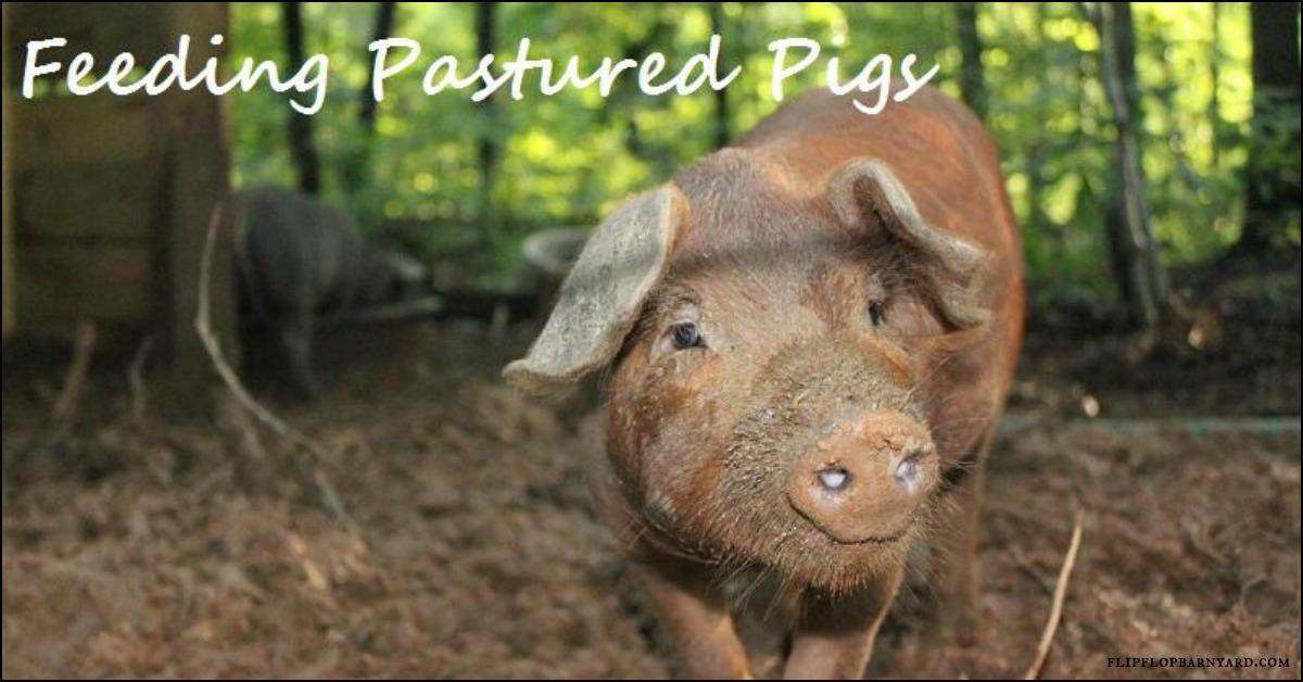 Feeding pastured pigs.