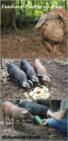 How to feed pastured pigs.