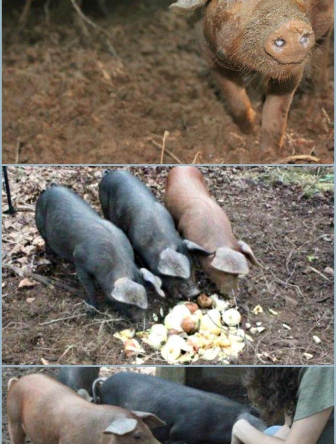 Feeding Pastured Pigs