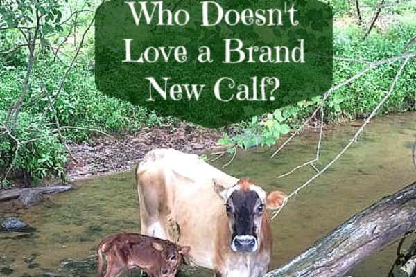 Who doesn't love a brand new calf?