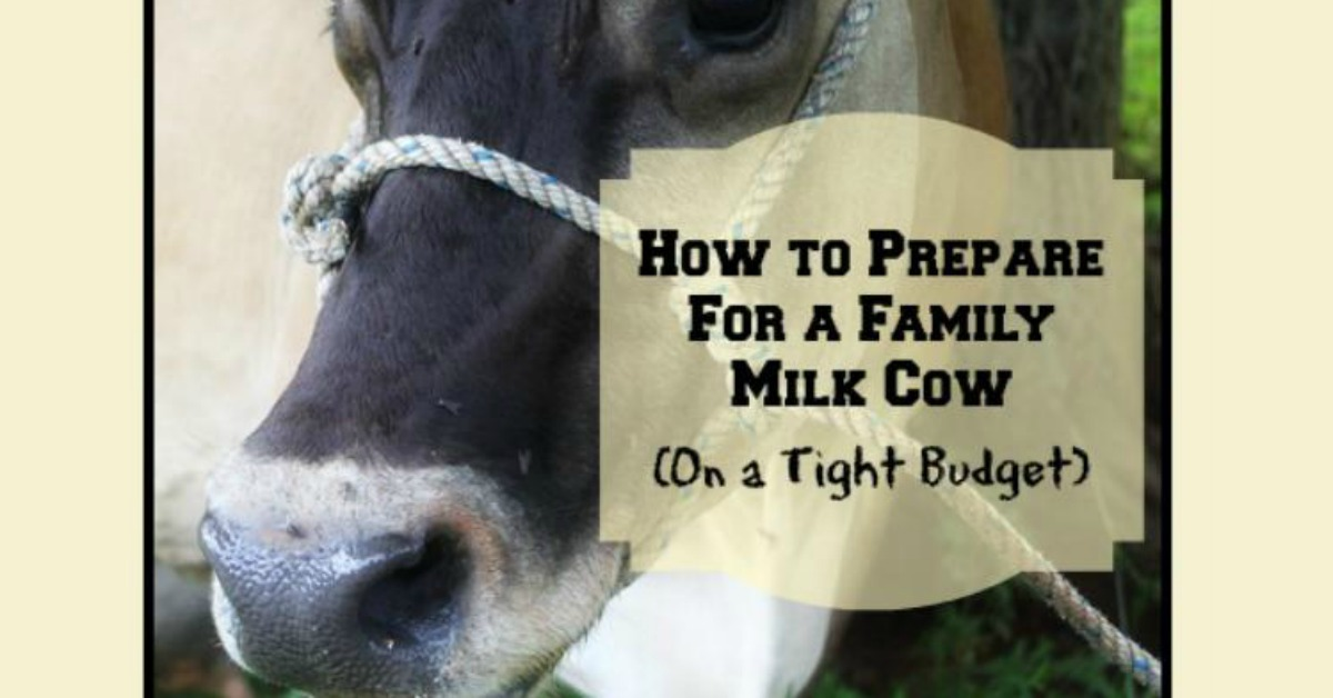 How to Prepare For a Family Milk Cow (On a Tight Budget)