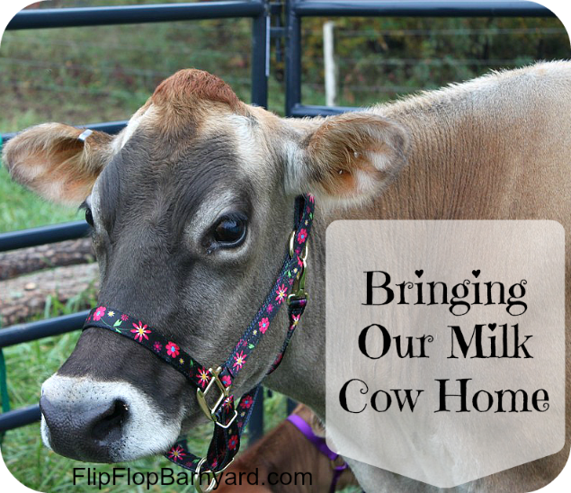 Bringing Our Milk Cow Home   www.flipflopbarnyard.com
