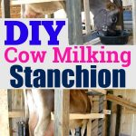 "a photo collage of a family milk cow on a stanchion with the words ""DIY cow milking stanchion"" in the middle."