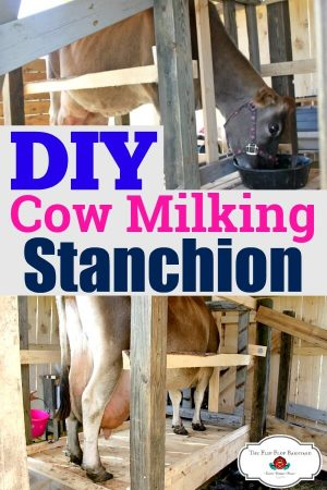 """a photo collage of a family milk cow on a stanchion with the words """"DIY cow milking stanchion"""" in the middle."""