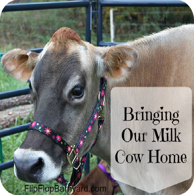 Bringing Our Milk Cow Home