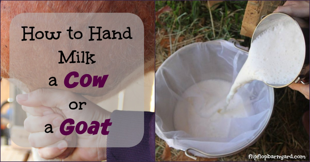 How to Hand Milk a Cow or a Goat