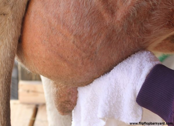 cleaning a cow's udder with a wet rag