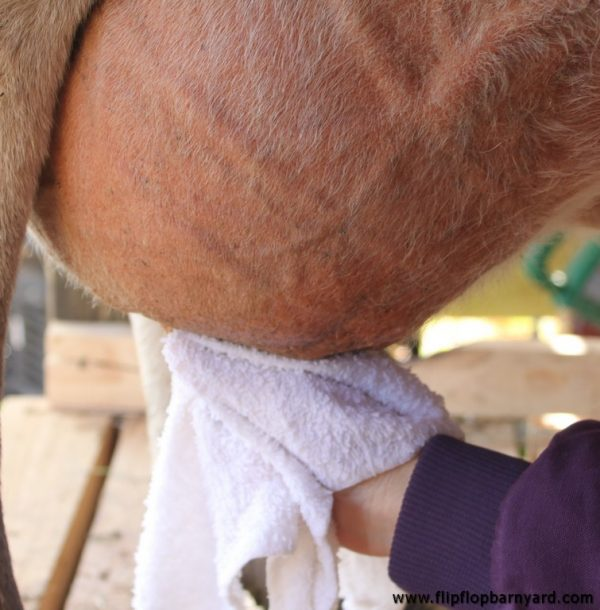 cleaning a cow's teat with a wet rag