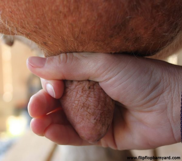 hand grasping a cow's teat to begin milking