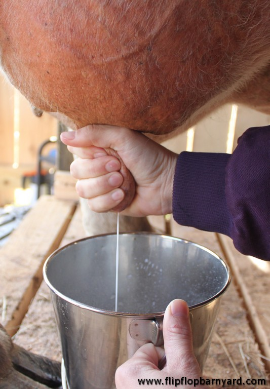 hand squeezing a cow's teat to squirt milk into a bucket