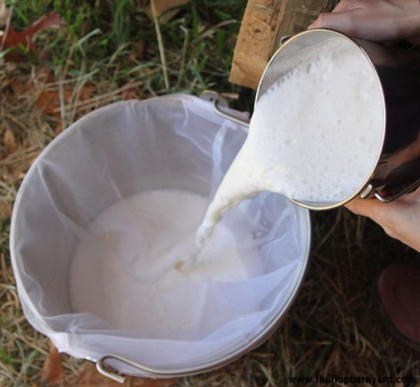 pouring freshly milked cow's milk through a filter