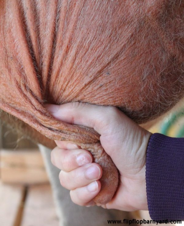 hand squeezing a cow's teat to be sure all of the milk is out
