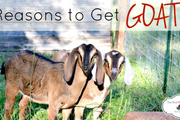 Five Awesome Reasons to Get Goats