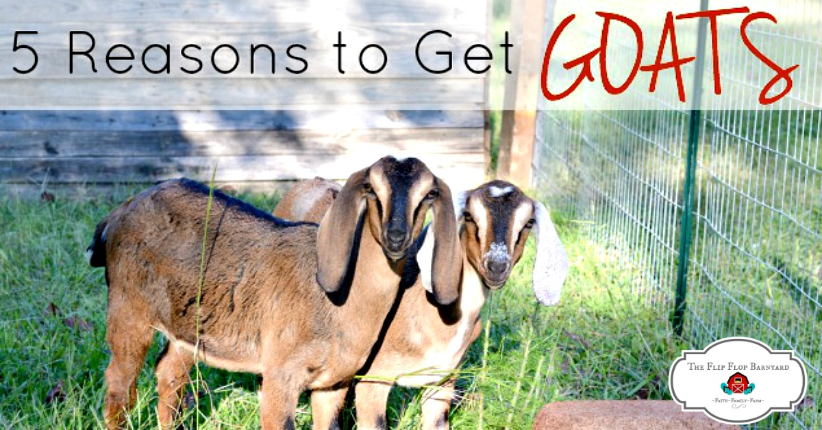5 Reasons to Get Goats. Adding goats to the homestead is a great thing to do. There are many reasons to have goats, here are a few.