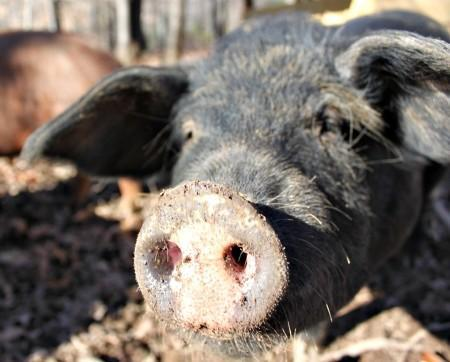 7 Tips for the Novice Pig Farmer | The Flip Flop Barnyard