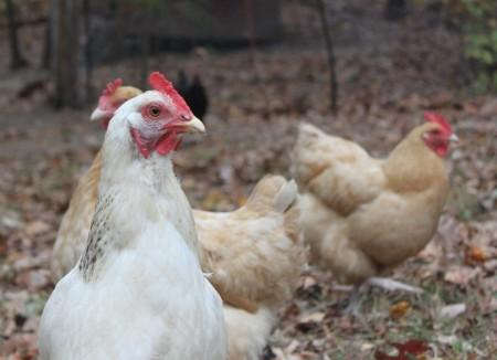 9 Reasons to Raise Chickens1