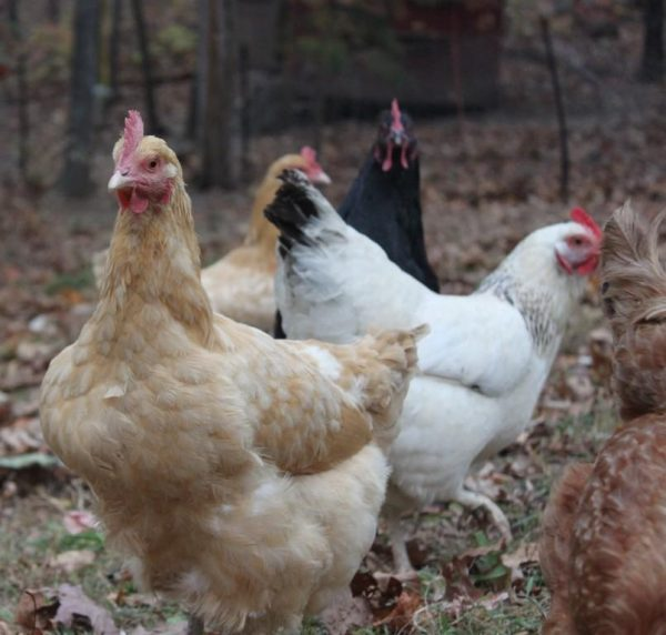 4 hens foraging