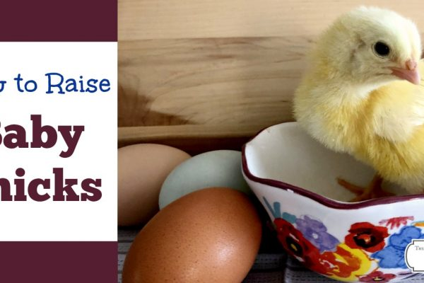 How to Raise Baby Chicks- Everything You Need to Know