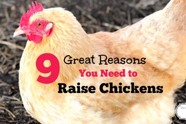 9 Awesome Reasons for Raising Chickens
