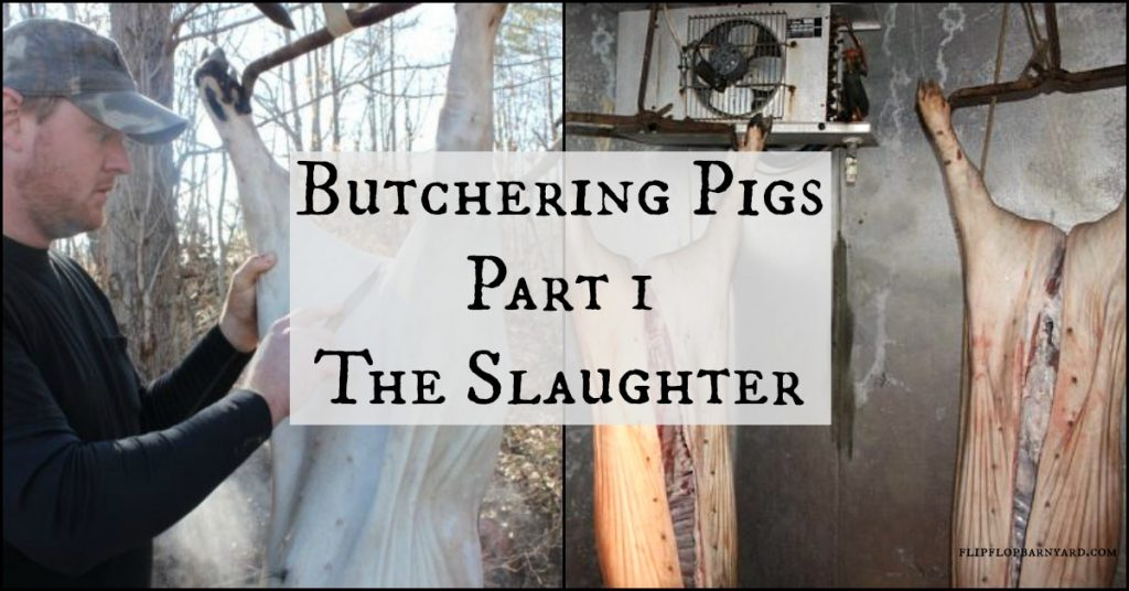 Butchering pigs part 1- The Slaughter