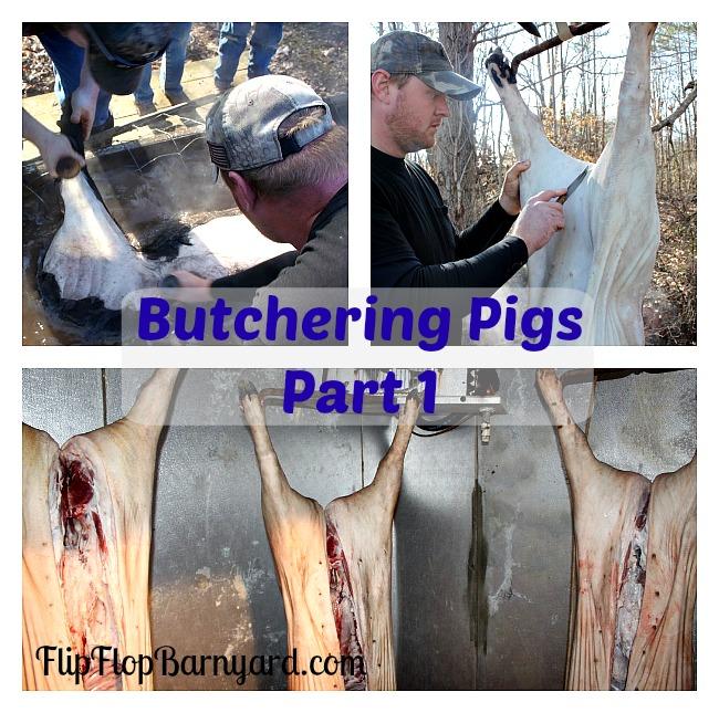 Butchering Pigs- Part 1