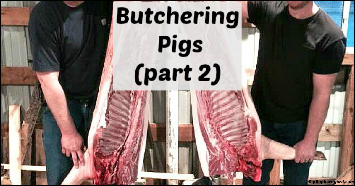 Butchering Pigs- Part 2