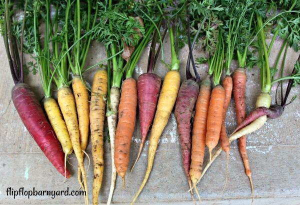 heirloom rainbow variety of carrots
