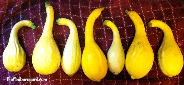 heirloom crookneck yellow squash