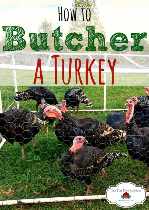 How to butcher a turkey at home. Butchering turkeys on your own is a great skill to learn on the homestead. It's another step towards being self sufficient when you can butcher your own meat.