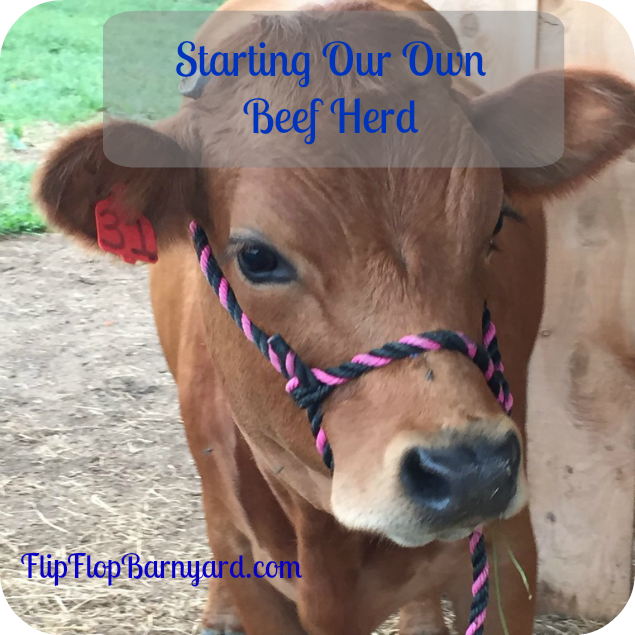 We started our own grass fed American Tarentaise herd.