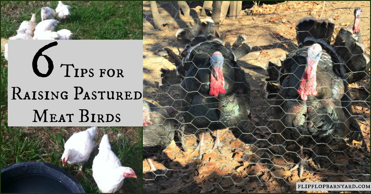 Tips for raising pastured meat birds on your homestead.