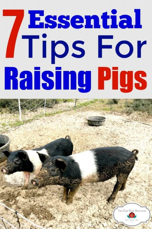 "A photo of 2 pigs with the words ""7 essential tips for raising pigs"" above it."