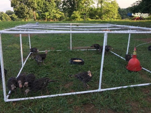 Young turkeys in a meat bird tractor on pasture