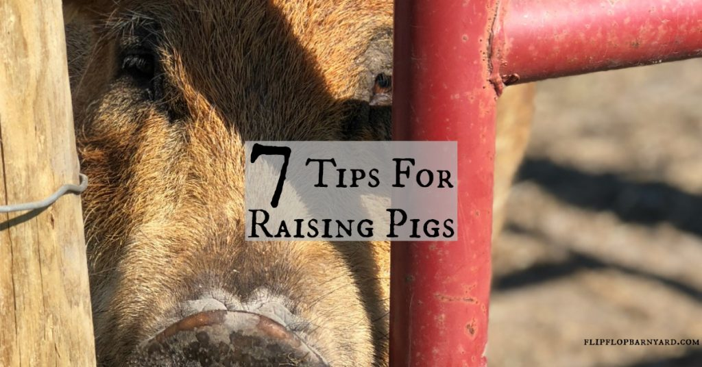 7 Tips for raising pigs.