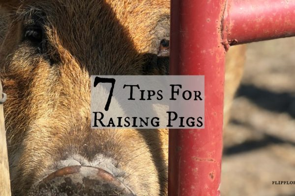 7 Great Tips for the Raising Pigs on the Homestead