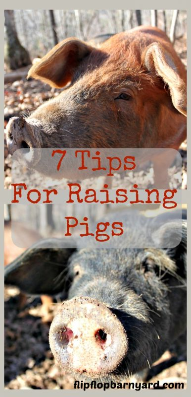 Here are the top tips for raising pigs on the homestead. pigs are fun to raise and fresh pork can't be beat.