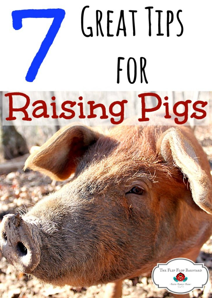 7 Tips for raising pigs on the homestead. Pigs are a great addition to a farm and here are some quick tips on raising pigs. You can learn how to raise pigs and be a super awesome pig farmer too!