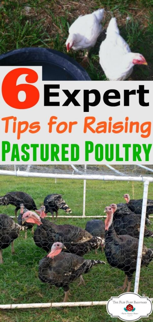 """a photo collage with white chickens on the top and turkeys on the bottom with the words """"6 expert tips for raising pastured poultry"""""""