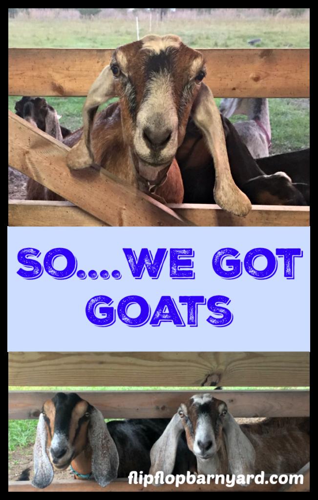 goats, getting goats