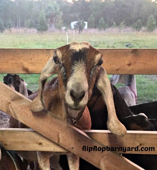 getting goats
