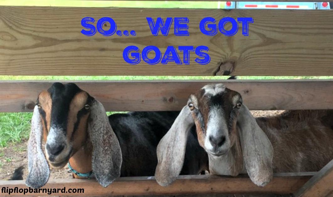 goats, getting goats, homestead goats