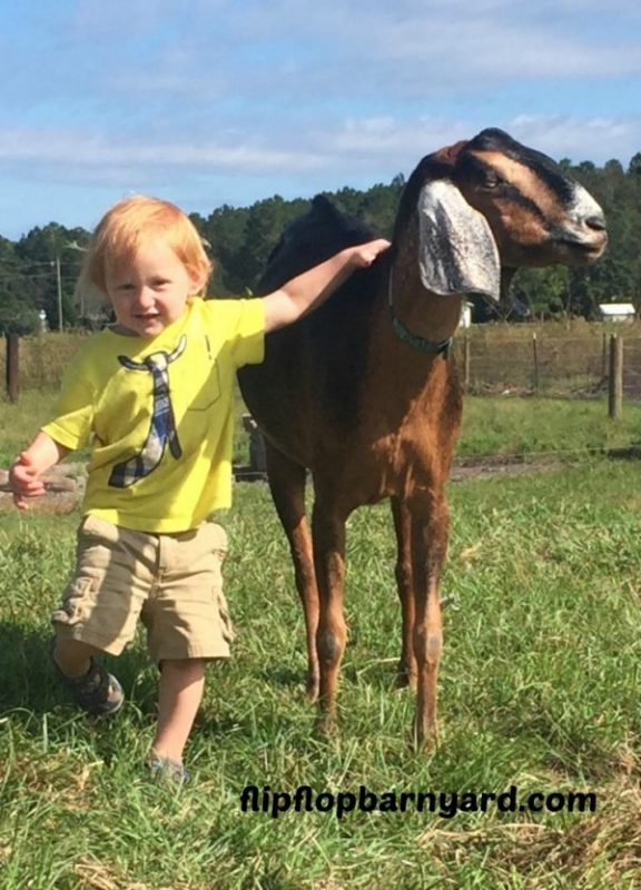 kids and goats, goat