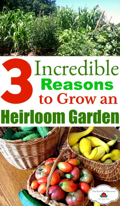 Growing and heirloom garden is one of the best ways for a homesteader to be self sustaining. You can save your heirloom seeds from year to year. Heirloom gardening is so fun fulfilling. Filling the pantry with heirloom produce and saving seeds for the next year is awesome!