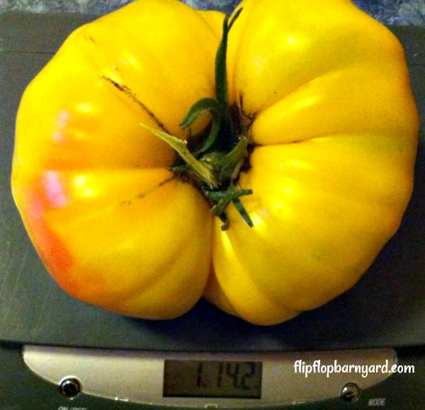 Big Heirloom Tomato