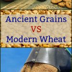 Ancient Grains VS Modern Wheat