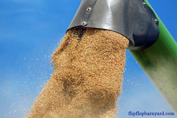 Grinding wheat in a grain mill